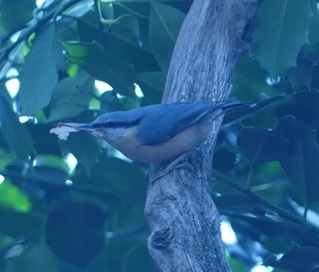 Nestbuilding nuthatches
